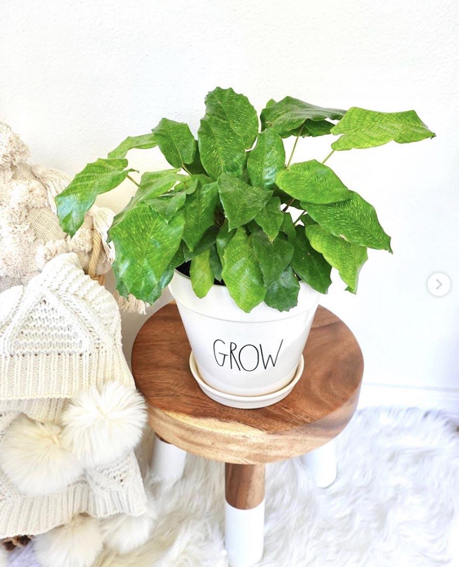 rae dunn grow plant pot on wooden stool